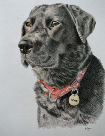Black-labrador-drawing,-A3-bristol-smooth-card,-prismacolor-pencils