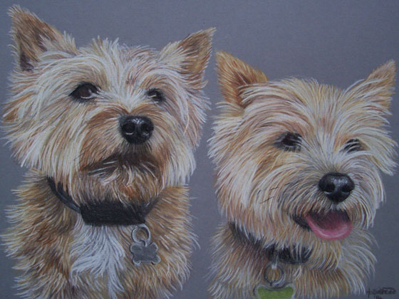 Norfolk-Terriers-drawing-A3-coloured-cardstock-using-prismacolor-pencils