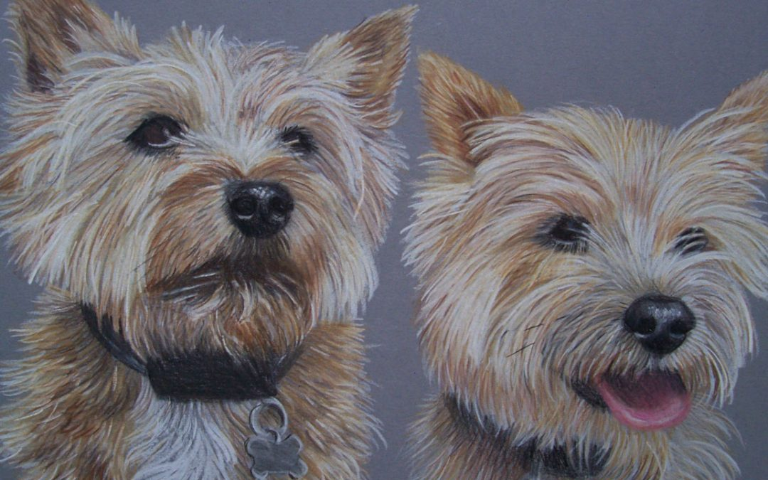 Two Norfolk Terriers