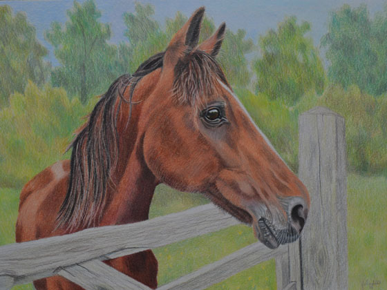 horse-drawing,-A3-bristol-smooth-card,-prismacolor-pencils