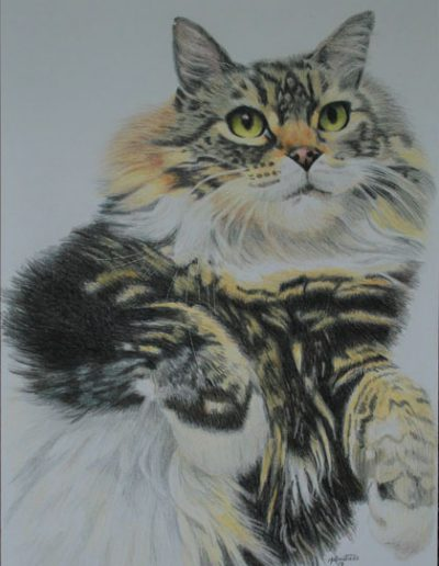 long-haired-tabby-drawing-on-A3-bristol-smooth-card-using-prismacolor-pencils